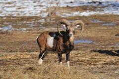 Mouflon imágenes de archivo libres de regalías