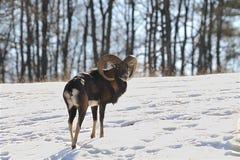 Mouflon fotos de archivo
