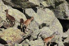 mouflon Стоковые Фото