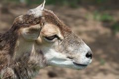 Mouflon Royalty Free Stock Photos