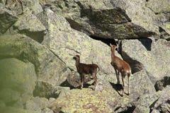 Mouflon. (Ovis orientalis),ewe and lamb royalty free stock images