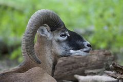 Mouflon Royalty Free Stock Images