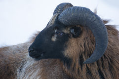 Mouflon Royalty Free Stock Photos