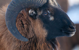 Mouflon Royalty Free Stock Photo