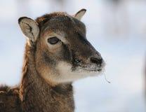 Mouflon Images stock