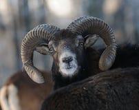 Mouflon Photo libre de droits