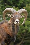 Mouflon Imagens de Stock