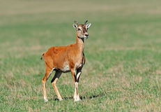 Mouflon foto de stock royalty free