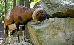 Mouflon Στοκ εικόνα με δικαίωμα ελεύθερης χρήσης