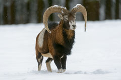 Mouflon foto de stock