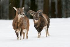 Mouflon Stock Photo
