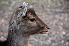 Mouflon foto de archivo