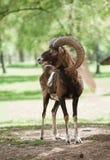 Mouflon Lizenzfreie Stockfotografie