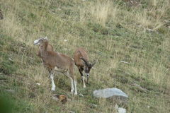 Mouflon Стоковое Фото