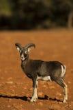 Mouflon Стоковые Изображения RF