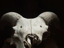 Mouflon头骨 免版税库存照片