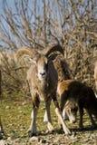 Mouflon Image stock
