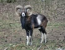 Mouflon Photo stock