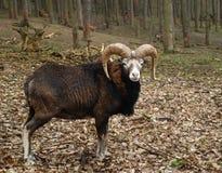 Mouflon Lizenzfreies Stockbild