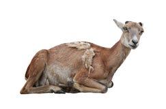 Mouflon Stock Photography