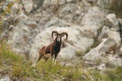 Mouflon Royalty-vrije Stock Foto
