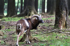 Mouflon Fotos de Stock Royalty Free