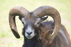 Mouflon av korsikan Royaltyfria Foton