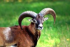 Mouflon avec sa beauté image stock