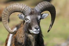 Mouflon, Bélier d'ovis image stock
