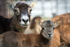 Mouflon baby near his mother in a zoo Royalty Free Stock Photo
