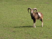 Mouflon Stock Photos