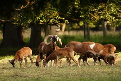 Mouflon buck Stock Images