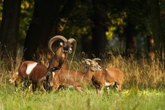 Mouflon buck. With bevy during fall royalty free stock images