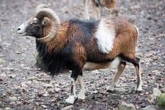 Mouflon while charging Stock Photos