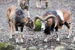 Mouflon while charging Royalty Free Stock Photo
