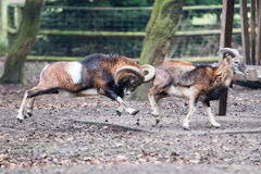 Mouflon while charging Stock Photography