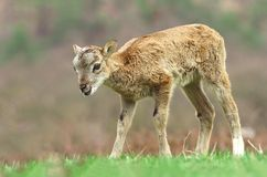Mouflon child Stock Photos