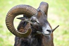 Mouflon of Corsican Stock Images