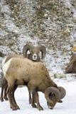 Mouflon d'Amérique 1 photo stock
