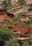 Mouflon d'Amérique de désert dans le moutain de Zion National Park Photo libre de droits