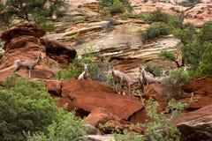 Mouflon d'Amérique de désert dans le moutain de Zion National Park Photographie stock libre de droits