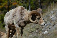 Mouflon d'Amérique frôlant au printemps image libre de droits