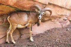 Mouflon dans l'Eifelpark, en Allemagne Photo stock
