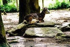 Mouflon, das auf einen Stein legt Lizenzfreies Stockfoto