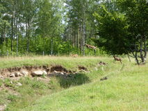 Mouflon de vol Photo libre de droits