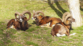 Mouflon deer Royalty Free Stock Photo