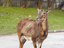 Mouflon deer Stock Photo