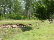 Mouflon del vuelo Foto de archivo libre de regalías