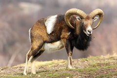 Mouflon eating piece of tree bark Royalty Free Stock Image