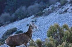 Mouflon eating vegetation. Female mouflon eating vegetation on Mount Capanne, in the island of Elba, Italy Royalty Free Stock Images